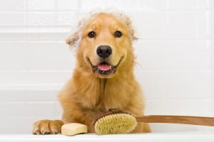 A Golden Retriever dog ready to take a bath in the tub